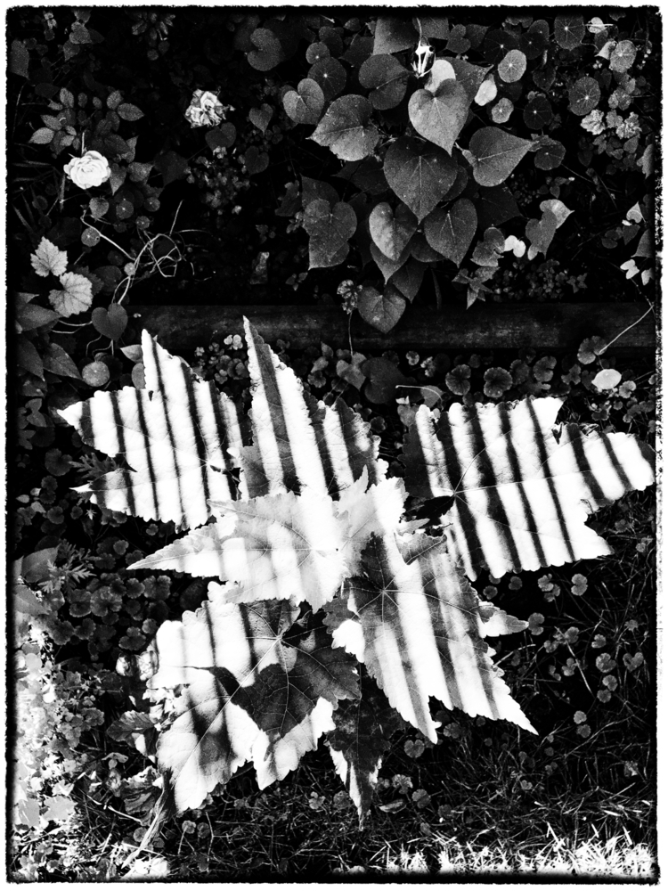 striped garden - summer, bw, ello - halehj | ello