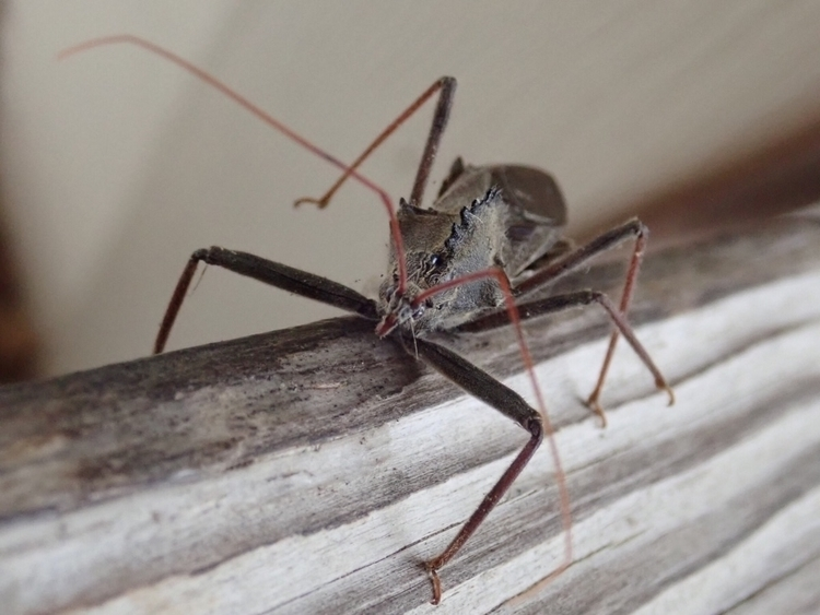 Assassin Bug decided hang front - ekrosnes | ello