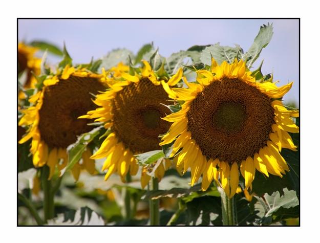 Sunflowers, Nebraska...Photogra - etbtravelphotography | ello