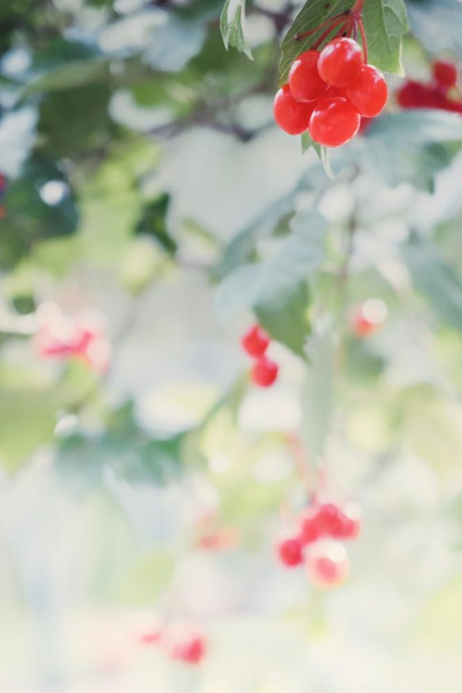 Viburnum - viburnum, botanical, nature - andreigrigorev | ello
