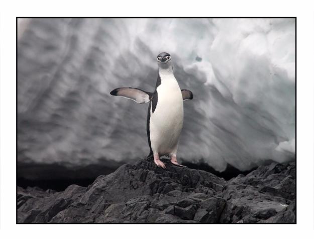 Chinstrap Penguin, Orne Harbor - etbtravelphotography   ello