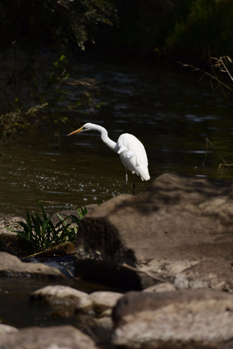 walks backyard: heron - photography - sneakymoon   ello