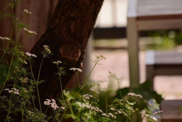 flowers: coriander blooming - photography - sneakymoon | ello