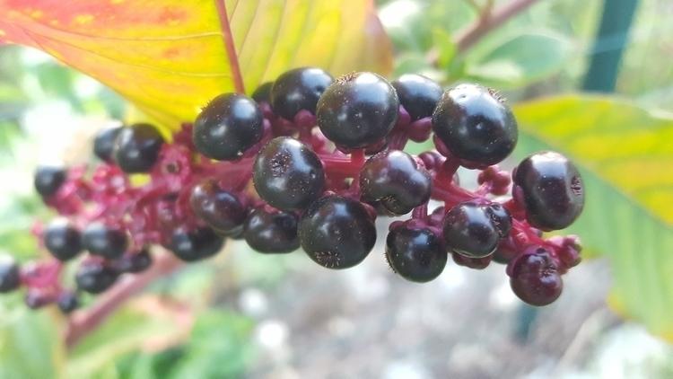 berries, nature - nutsefe | ello