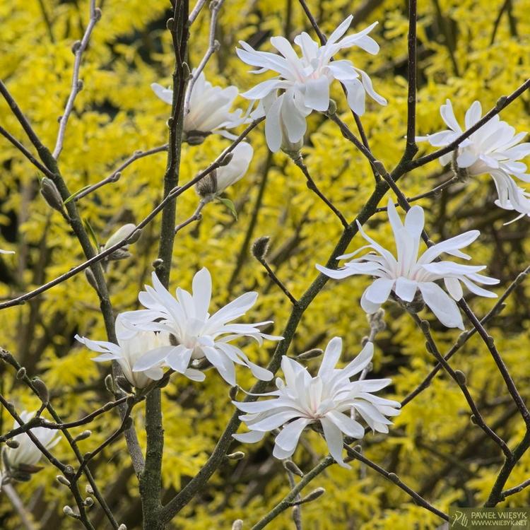 Magnolia Stellata - photography - pawelwiesyk | ello