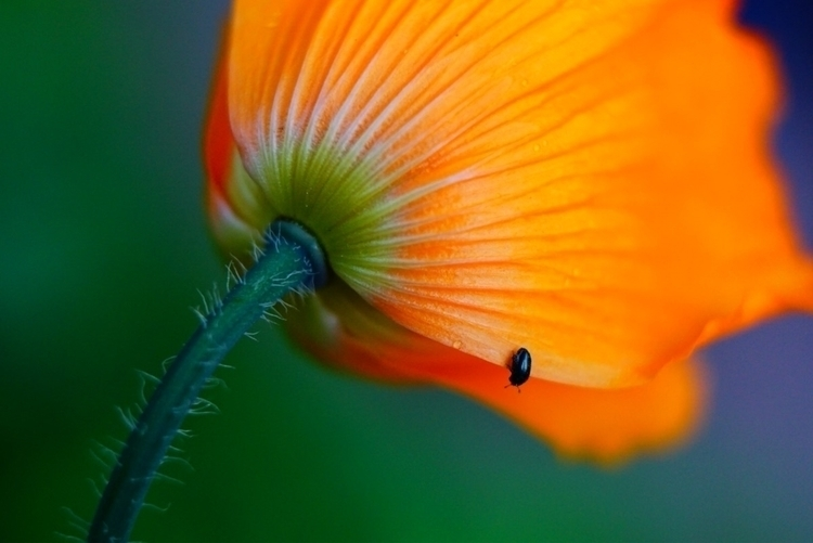 Welsh Poppy. cheap macro spacer - greyswan | ello