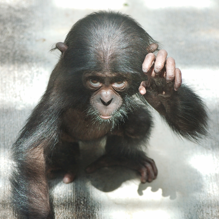 Fierce bonobo - animals, photography - chetkresiak | ello