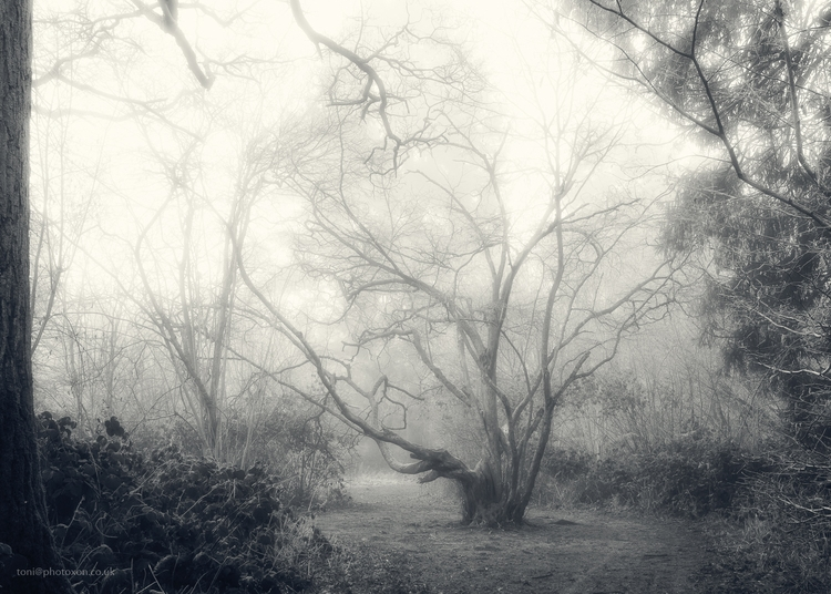 Stoke Tree - misty, foggy, woodland - toni_ertl | ello