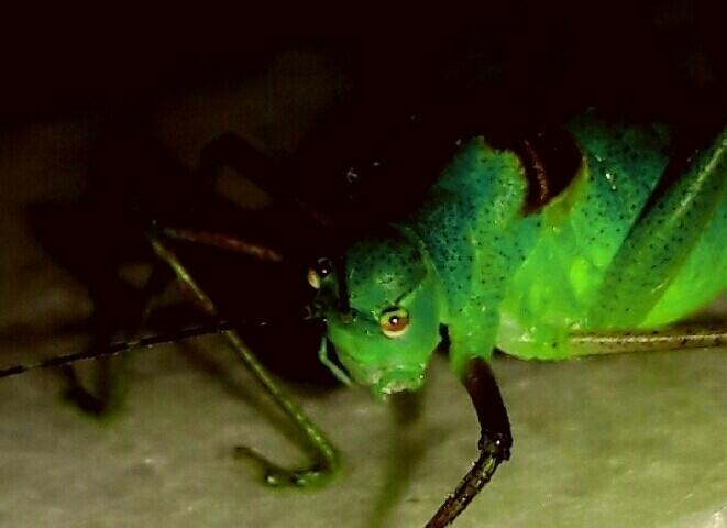 çekirge, grasshopper - nethanfox | ello
