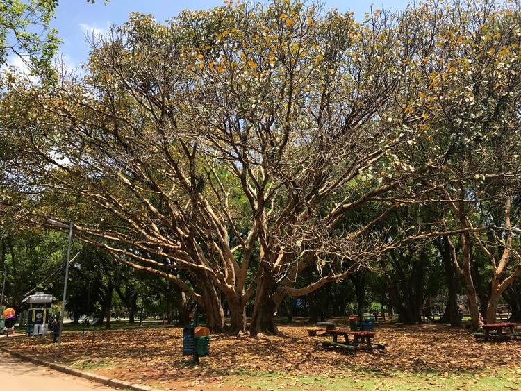 Exemplares de Ficus Benghalensi - antoniomg | ello