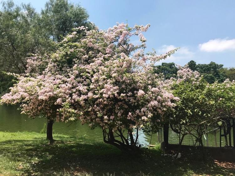 Primaveras (bougainvilleas) flo - antoniomg | ello