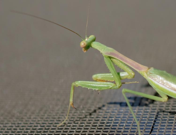 Mantis, shot Nikon D3400, 9/27 - jomartinusen | ello