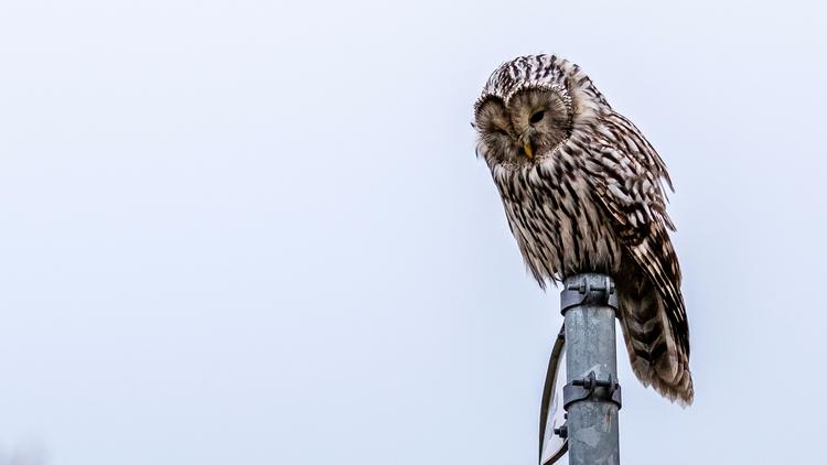 owl - toonie74 | ello