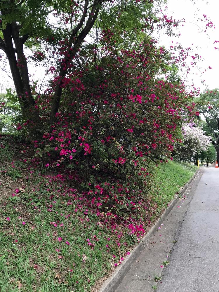 Primaveras (Bougainvilleas) Par - antoniomg | ello