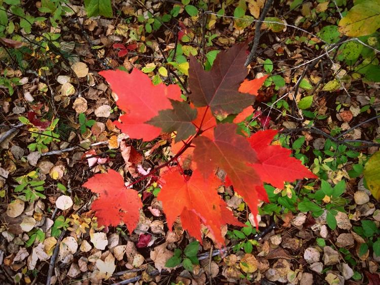 Maple - photo, fall, nature - dispel | ello