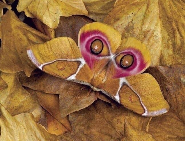 Suraka Silk moth native Madagas - thebutterflybabe | ello