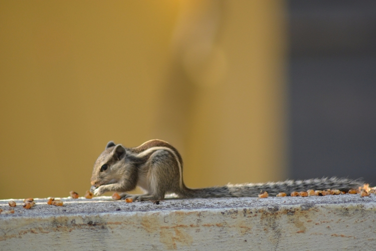 India, Squirrel - atulbw | ello