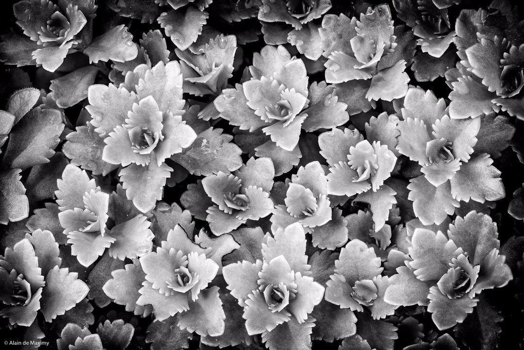 Succulent Crassula Clover [2 - plant - maximy | ello