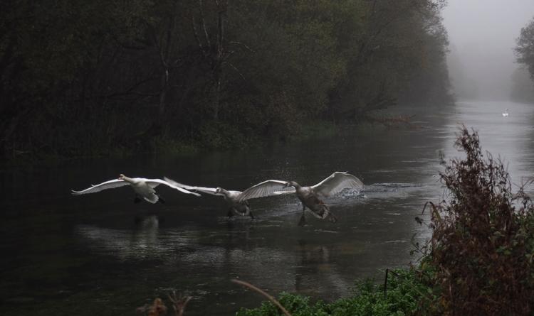 Flying Swans - Mum young swans  - neilhoward   ello
