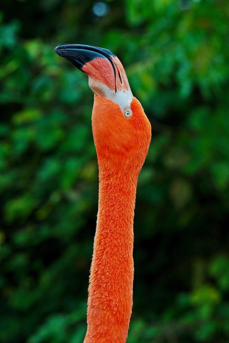Flamingo - flamingo, bird, birds - chetkresiak | ello
