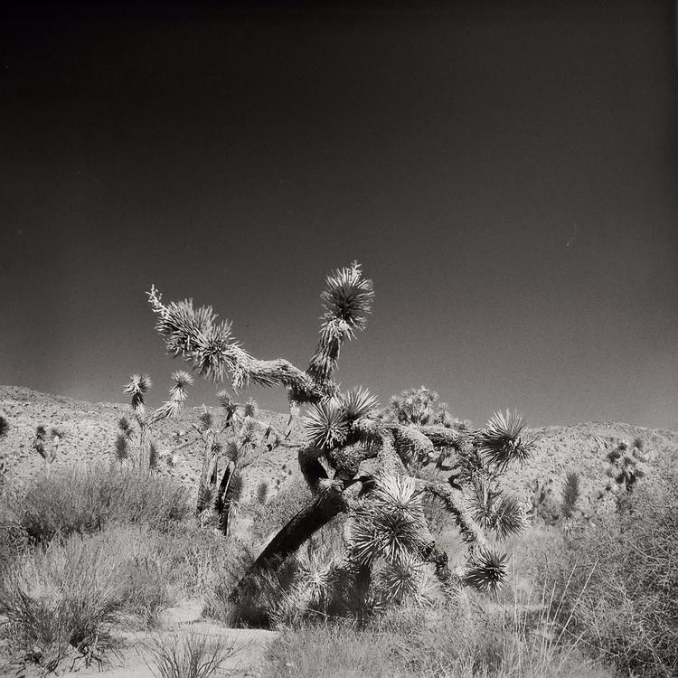 Joshua trees, shot Lubitel 166  - mlhannahfineart | ello