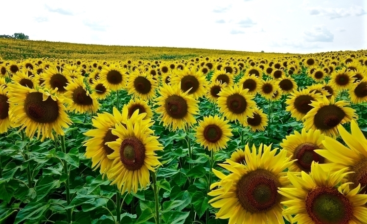 1 2,236,000 Sunflowers, Summer  - petersabbagh | ello