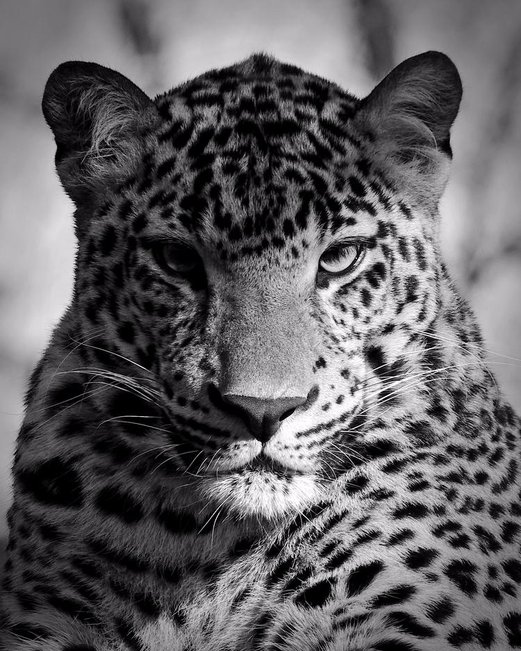 Leopard - cat, cats, bigcats, animals - chetkresiak | ello