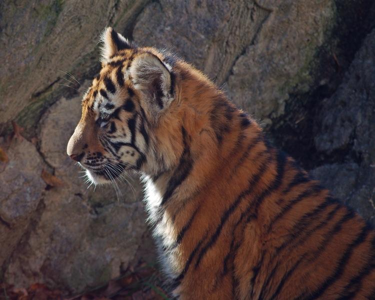 Amur tiger cub - photography, tigers - chetkresiak | ello