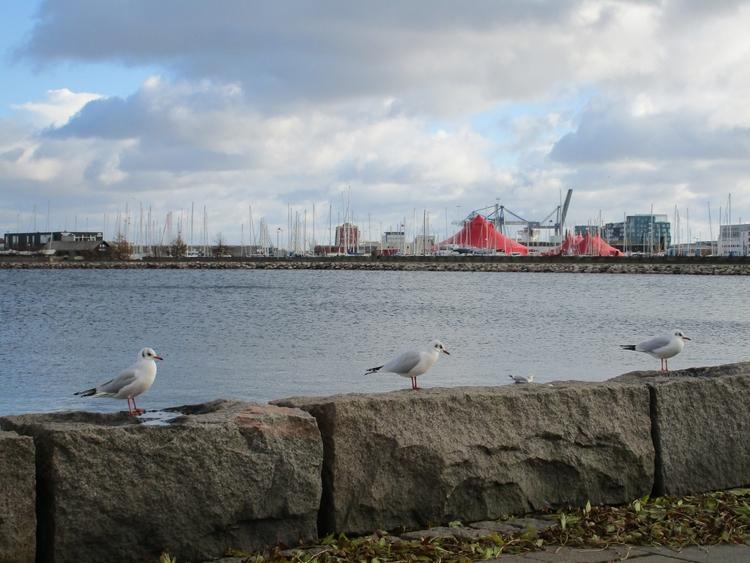 svanemoellen, nordhavn, ilikebirds - northernlad | ello