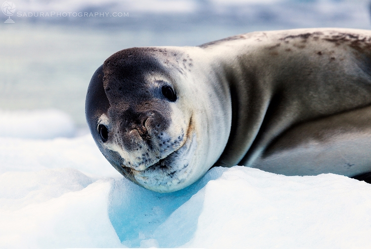Smiling Leopard Seal Antarctic  - hsphotos | ello