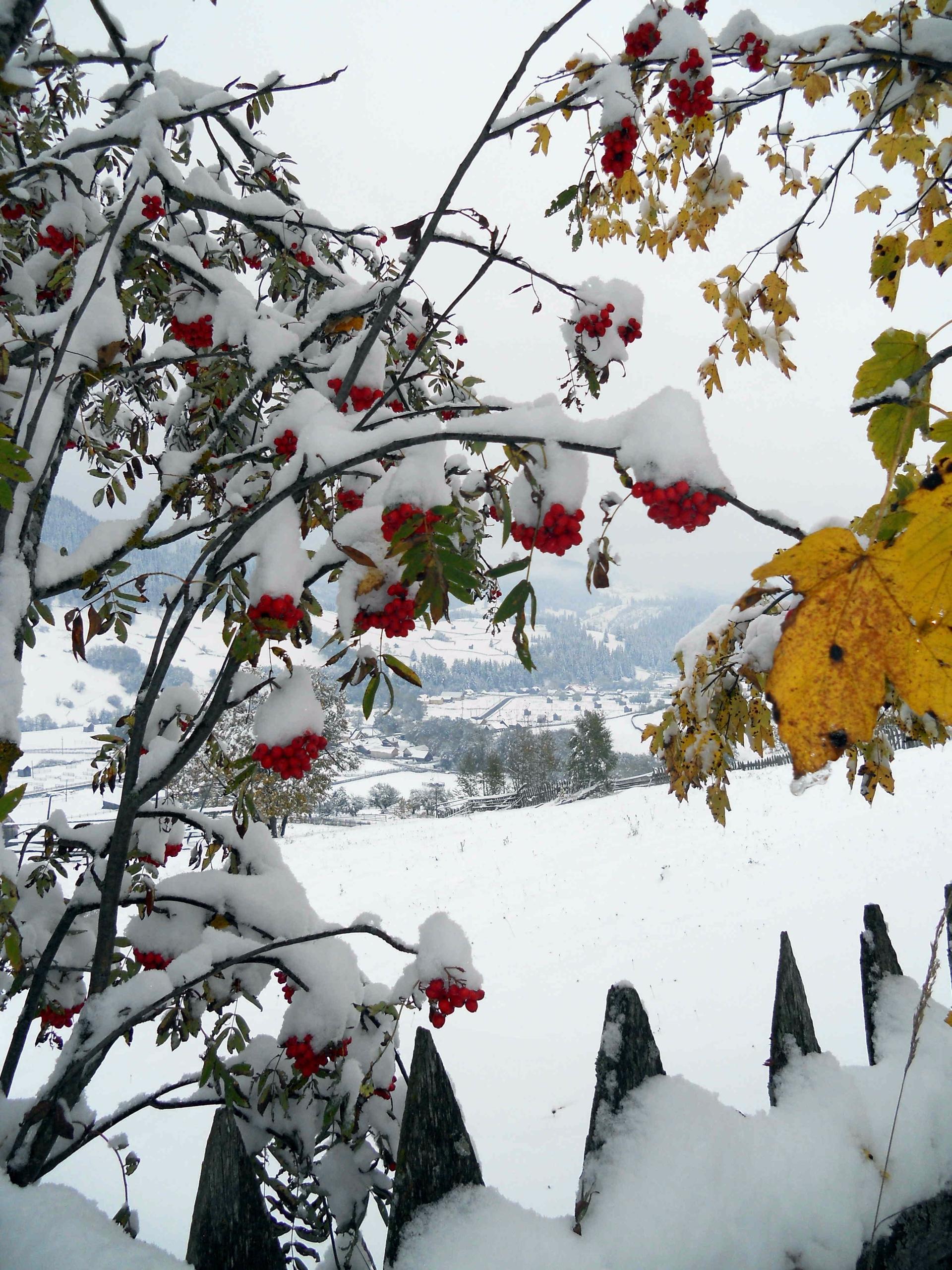 Rowan tree wintry glee - rowan, winter - fondator | ello
