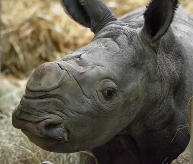 Rowdy Rhino Calf Joins 'Crash'  - red_wolf | ello