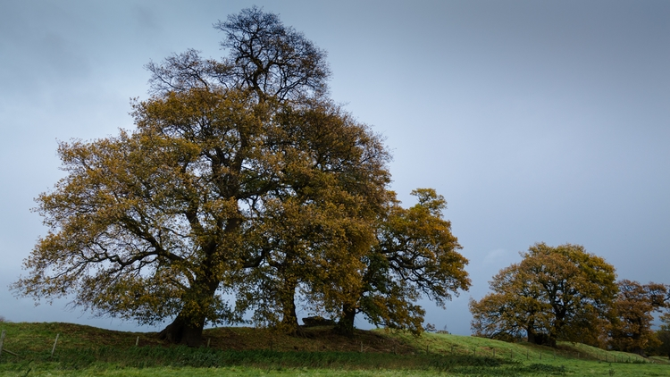 landscape: Oak Trees, Caistor S - davidhawkinsweeks | ello