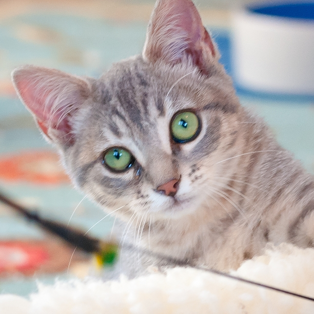 COMMENT SHARE Meet: Mia, Spayed - snapcats   ello