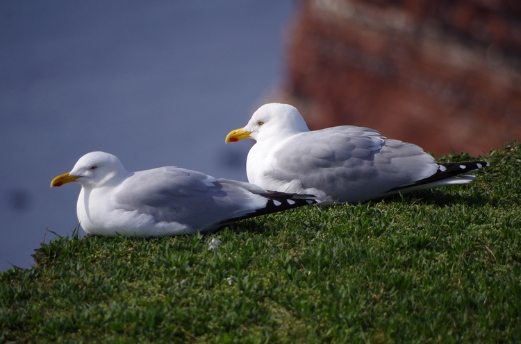 Eissturmvögel auf Helgoland - Eissturmvogel - brummi | ello