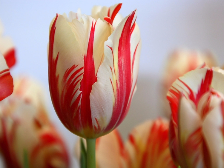 Daily Tulip – News World Sunday - robert-mcangus | ello