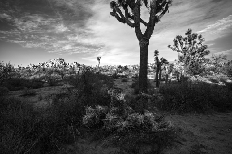 Joshuas formations, Joshua Tree - frankfosterphotography | ello