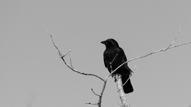 withered branch crow perched au - brucefraser | ello
