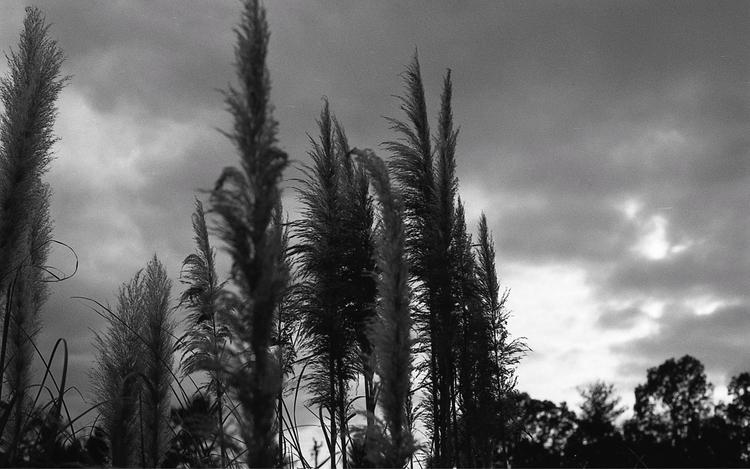 sunset pampas grass - flaneurity   ello