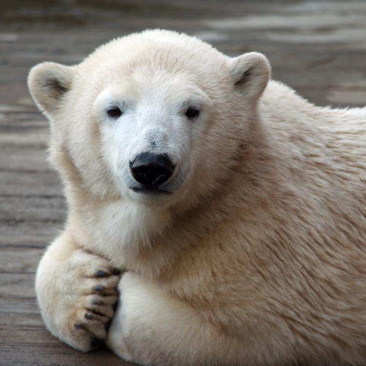 Portrait Amelia Gray - animals, bears - chetkresiak | ello