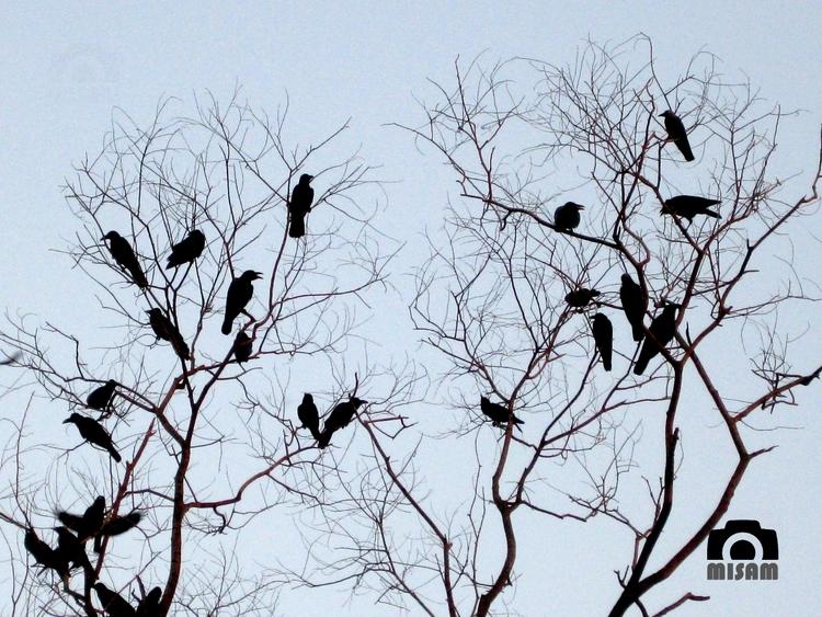 Crows social - mithun286 | ello