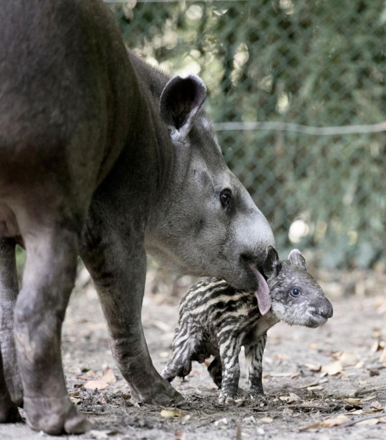 Meet Zoo de Handsome Tapir - wildlife - red_wolf | ello