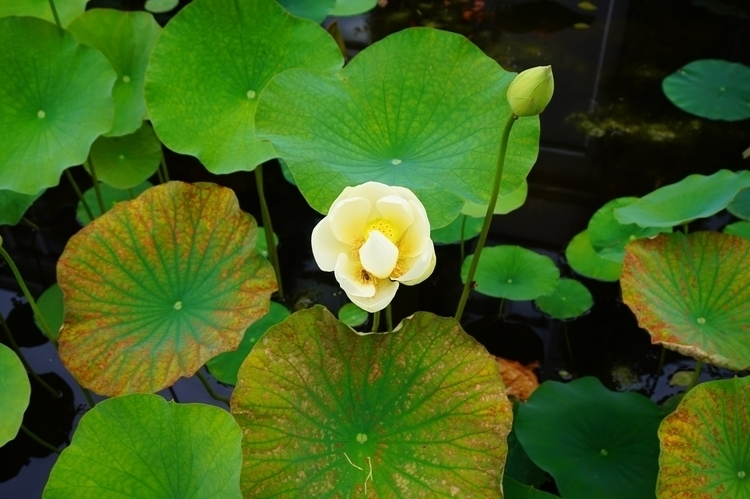 illusion, fantasy - flowers, waterlily - wiorki | ello