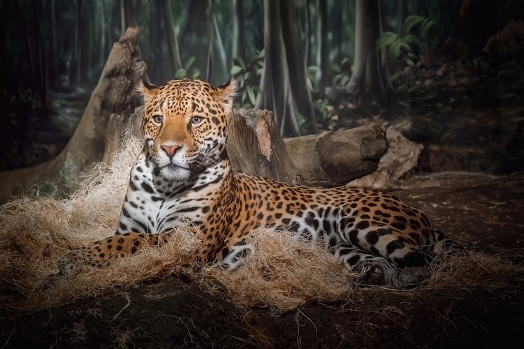majestic leopard relaxing Milwa - scottnorrisphotography | ello