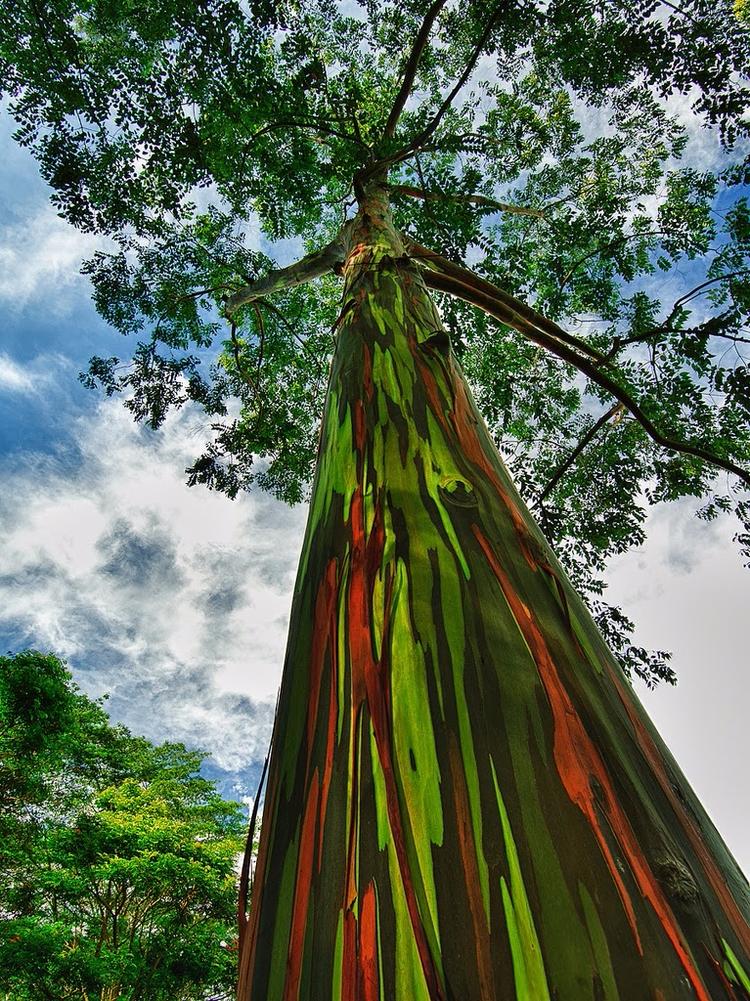 curiosa árvore Eucalyptus Deglu - antoniomg | ello