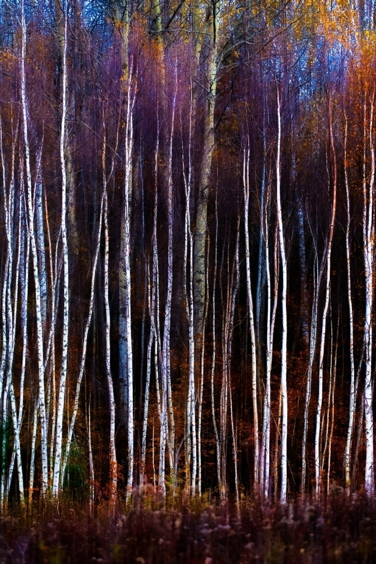Birch trees edge field late fal - markcollier | ello