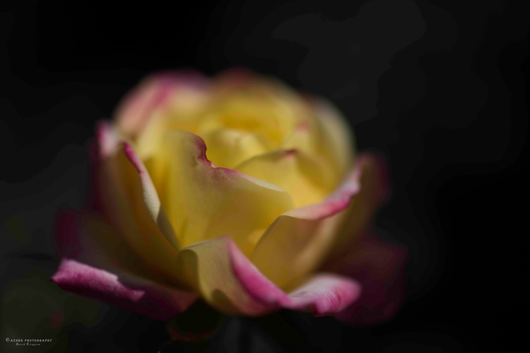 Sunset Rose, 2017 d810, 105mm M - azdrk | ello