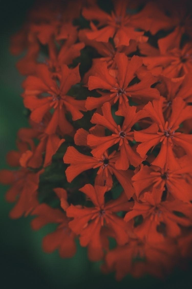 Flamin - photography, flowers - marcushammerschmitt | ello