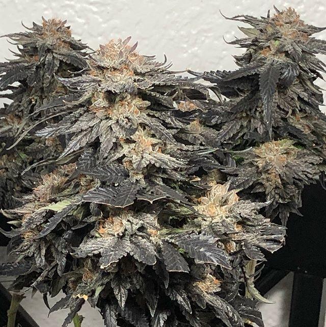 signature strain full bodied, b - cropkingseeds | ello