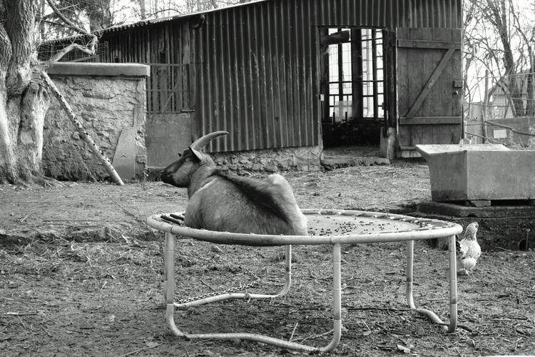 [ le bouc / Goat Preum' sur tra - petit_louis | ello